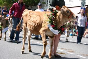 600-Brattleboro-Vermont-Strolling-Heifers