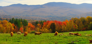 600-Trapp-Family-Lodge-Fall-cows